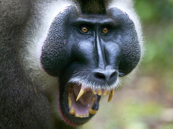 I am told the baboons my mom met were much friendlier than this baboon. (Image from http://fwallpapers.com.)