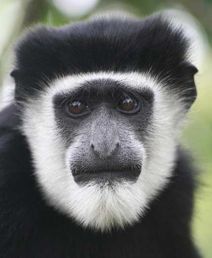 This is a Colobus monkey. It appears to have a lot of anxiety. This monkey and I could probably be good friends. (Image from factzoo.com.)